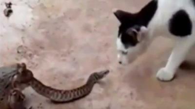 Dikke vette pad eet slang en kat kijkt verbaasd toe