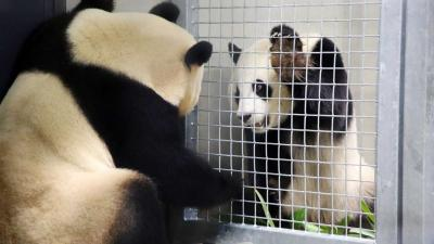 Panda's ontmoeten elkaar voor het eerst