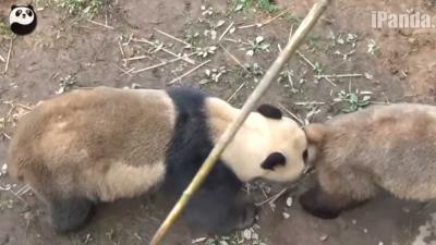 Parende reuzenpanda's door honderduizenden live bekeken
