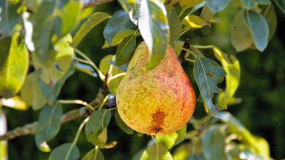 perenboom