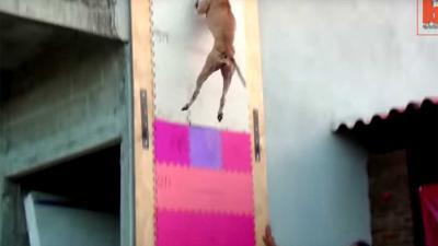 Pittige pitbull springt 4 meter hoog