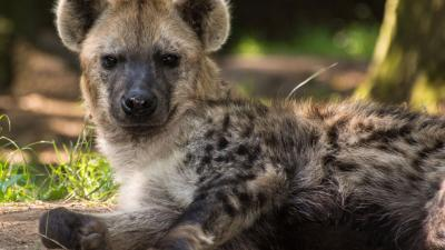 foto van Hyena overleden | DierenPark Amersfoort