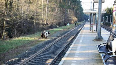 Pony's spoor bijster in Ommen