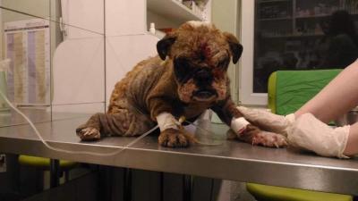 Uitgeput en verwaarloosde moederhond gered uit een hongaarse puppyfabriek