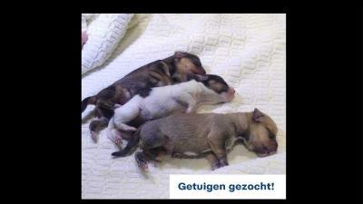 pups-hond