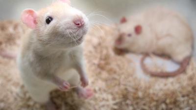 Foto van ratten | Archief EHF