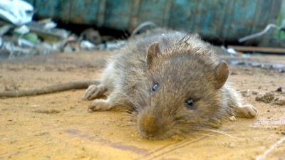 foto van rat roken | fbf