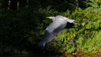 reiger-vliegen-natuur