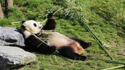 Belgische reuzenpanda waarschijnlijk zwanger