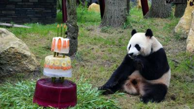 IJstaart voor jarige reuzenpanda's Xing Ya & Wu Wen