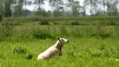 foto van schapen | fbf