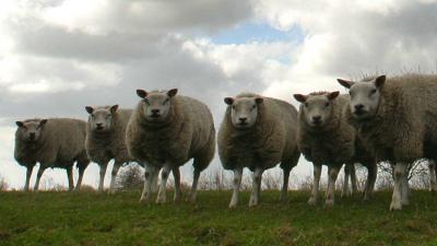 schapen-dijk