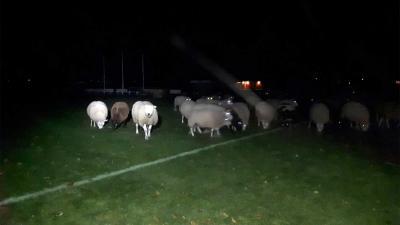 Grote kudde schapen 's nachts aangetroffen op voetbalveld Kraggenburg