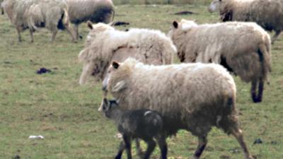 100 dode schapen en lammeren aangetroffen bij veehouder Friesland