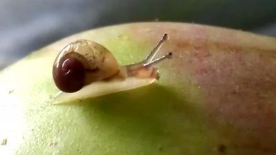 Foto van slakje op appel   Archief EHF