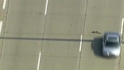 Adembenemend filmpje van moedereend en kroost die drukke snelweg oversteken