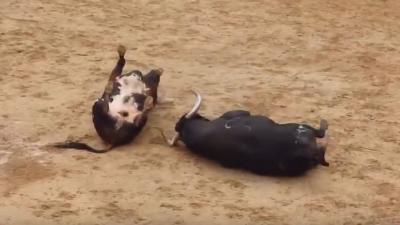 Stieren op slag dood in arena na frontale botsing