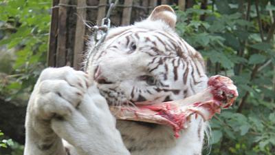 foto van tijger | DierenPark Amersfoort