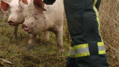 2000 varkens komen om bij brand in Kruisland
