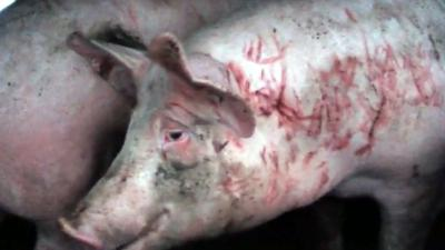 Varkens vechten tot bloedens toe op weg naar slachthuis