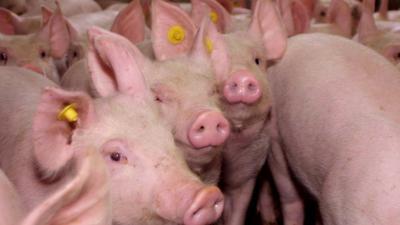 Patiënt besmet met varkensgriepvirus