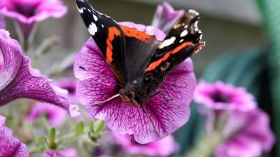 Atalanta meest getelde vlinder in Nederlandse en Vlaamse tuinen