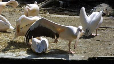 vogel-pelikaan-artis
