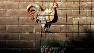 vogelgriep-haan-ophokplicht