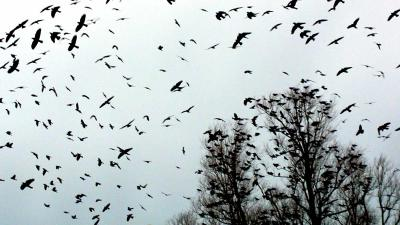 Onderzoekers hopen eerder te kunnen waarschuwen bij verspreiding vogelgriep door trekvogels