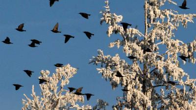 Vogelbescherming dringt aan op beter onderzoek naar oorzaken vogelgriep