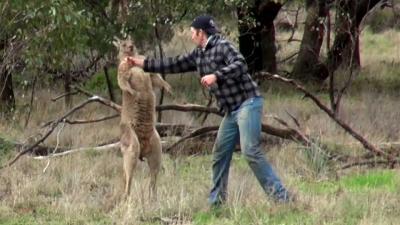 Man redt jachthond uit wurgreep kangoeroe met 'directe rechtse'