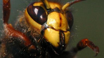 Wespen vallen fietsers aan in het Drentse Hollandscheveld