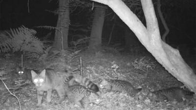Wilde kat maakt come-back in Nederland