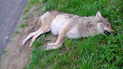 Foto van doodgereden wolf   Janneke van der Linde