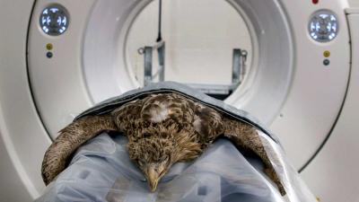 Gecrashte zeearend onderzocht in CT-scanner