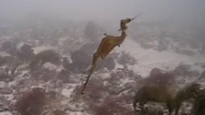 Rode zeedraak voor het eerst levend op film vastgelegd