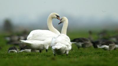 Vogelgriepcontrole op wilde vogels