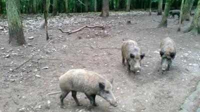 provincie drenthe, zwijn, wilde dieren
